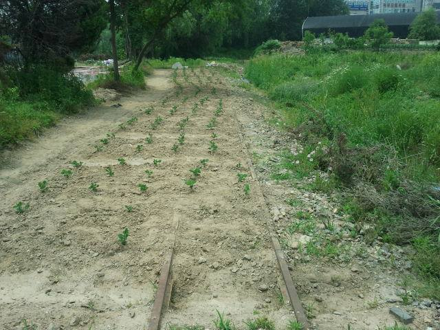 And here the line itself has become the garden, with the vegetables growing inside the track…