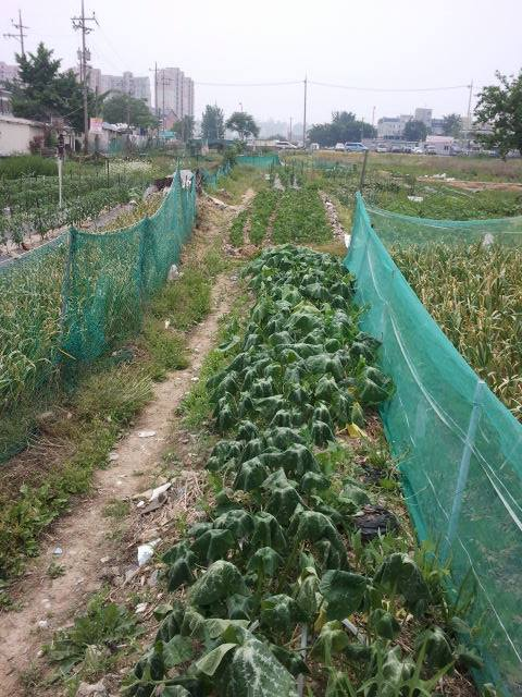 And when Korail reclaims the line, these gardens will have to disappear. Here the vegetables are growing literally within the track.